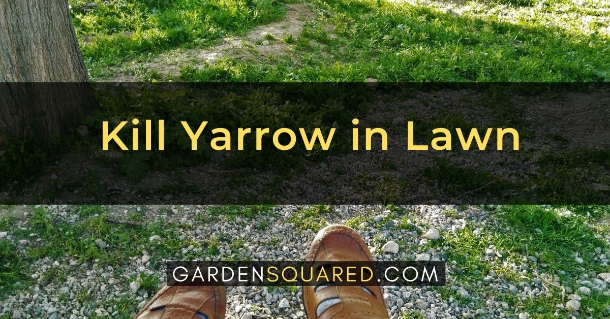 How To Kill Yarrow In Lawn