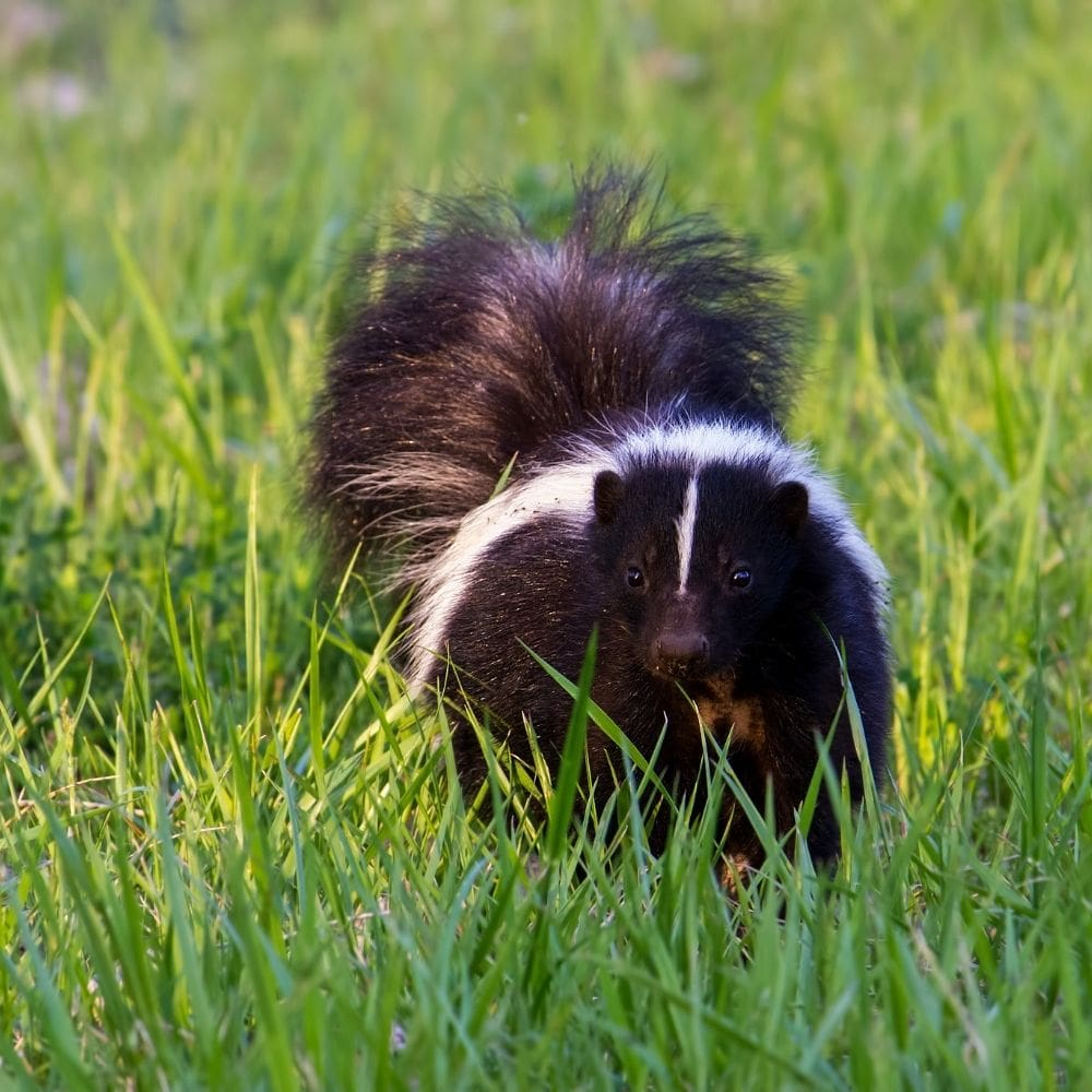 The Skunks