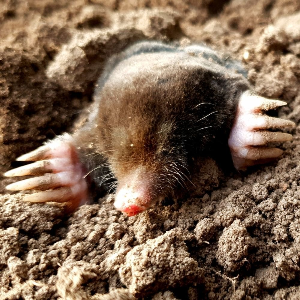 The Moles Digging In Lawn