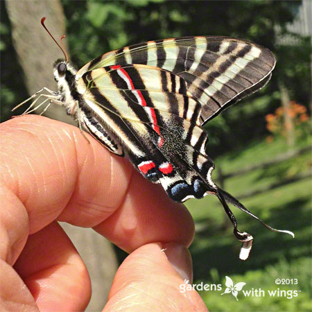 butterfly with black, white and red stripes resting on finger
