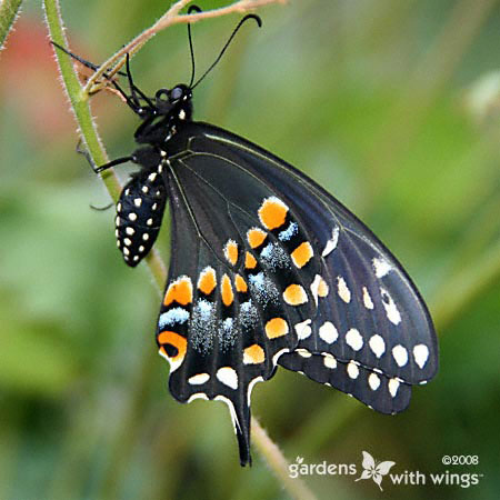 black butterfly with orange, white, and blue markings