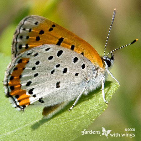 white and orange butterfly with black spots