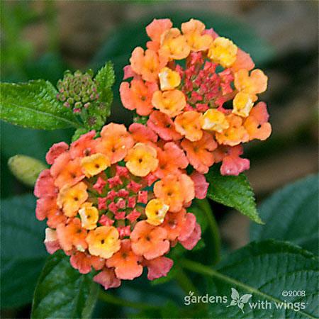 Orange and yellow Lantana Flowers