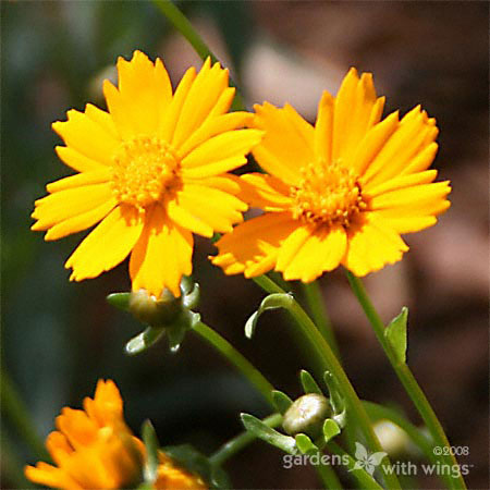 Yellow Coreopsis Flower
