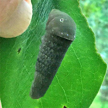 green larva pupating