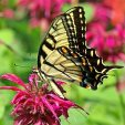 Eastern Tiger Swallowtail Female Wings Closed