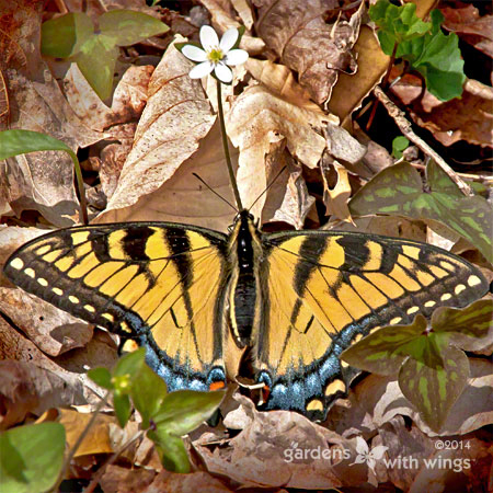 brilliant yellow and black stripe butterfly