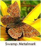 Endangered Butterfly – Swamp Metalmark