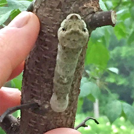 brown larva climbing branch