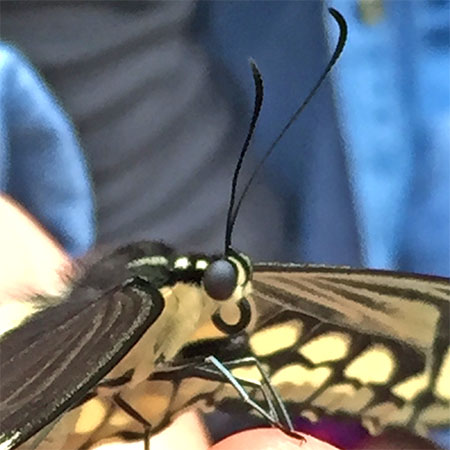 butterfly's black round eyes