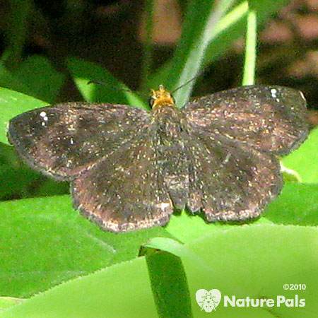 Golden-headed Scallopwing