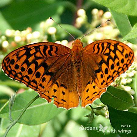 Great Spangled Fritillary Open Wing