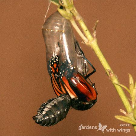 Monarch Butterfly Emerging