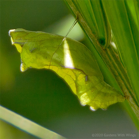 green chrysalis camouflage by green plant