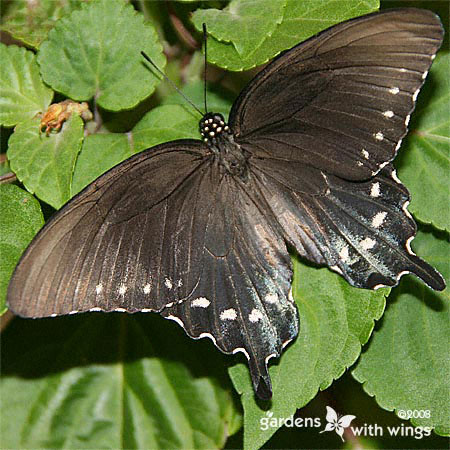 dark version of a pipevine swallowtail