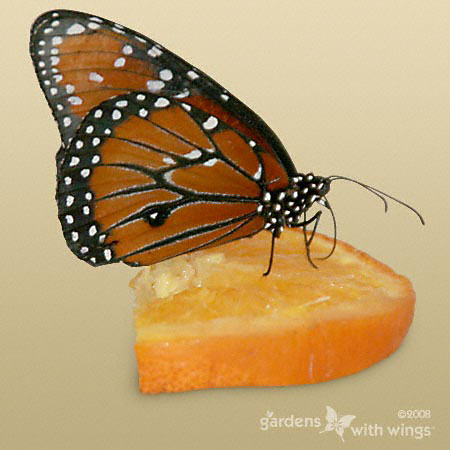Queen Male Butterfly with Close Wings