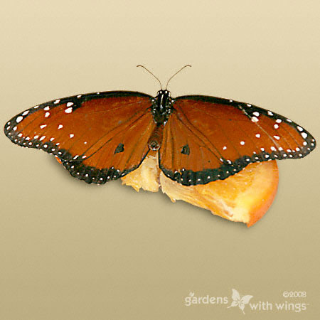 Queen Male Butterfly with Open Wings