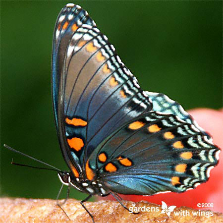 butterfly underside wings are black with blue and orange spots
