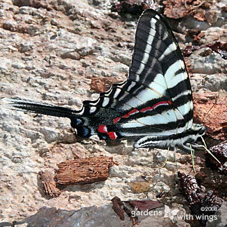 black-white stripe butterfly puddling