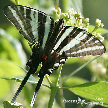 long tail butterfly with white and black stripes