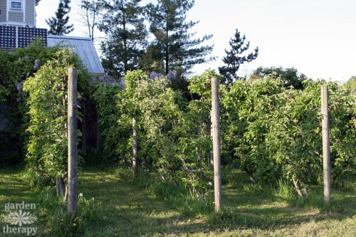 Rows of Espalier apples