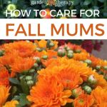 How To Care For Mums And Keep Them Blooming All Year Long