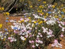 Wildflowers of Western Australia5