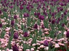 Purple tulip, Tulipa 'Passionale' under planted with pink bellis perennis.