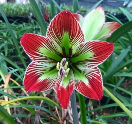 Hippeastrum 'Surprise'