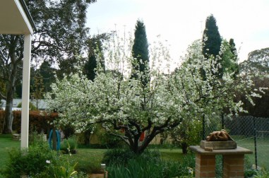 The old apple tree in Spring