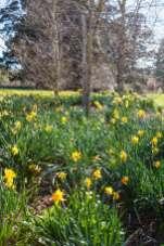 Chapel-House-daffodils