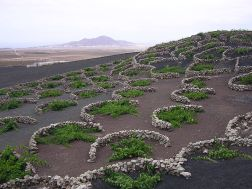 Malvasia vines on Lanzarote