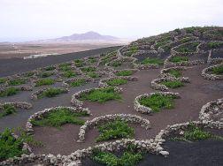 Malvasia vines on Lanzarote
