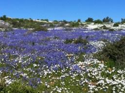 Namaqualand flowers Nemesia Photo Leon Kluge