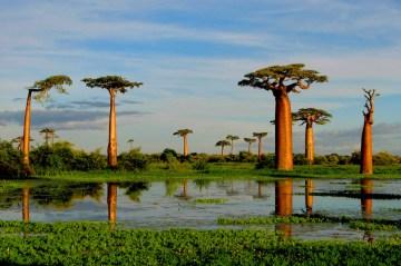 Grandidier's Baobab (Adansonia grandidieri), near Morondava, Madagascar