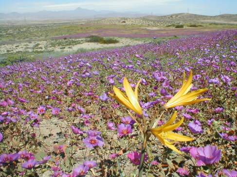 Chile - Atacama desert in flower. Photo Javier Rubilar