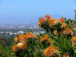 Proteas and Table Bay, South Africa