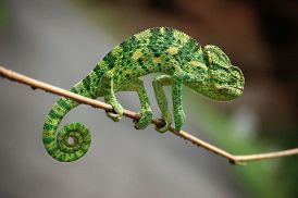 Sri lanka - colourful chameleon. Photo Amila Tennakoon