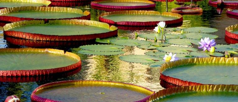 Victoria lily pond, Longwood Gardens, Philadelphia
