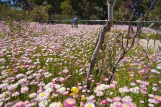 Wildflower meadow, Kings Park, Western Australia. Photo Sandy Lim