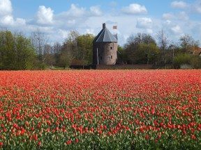 Sea of red tulips in the Netherlands. Photo Jmpoppelier