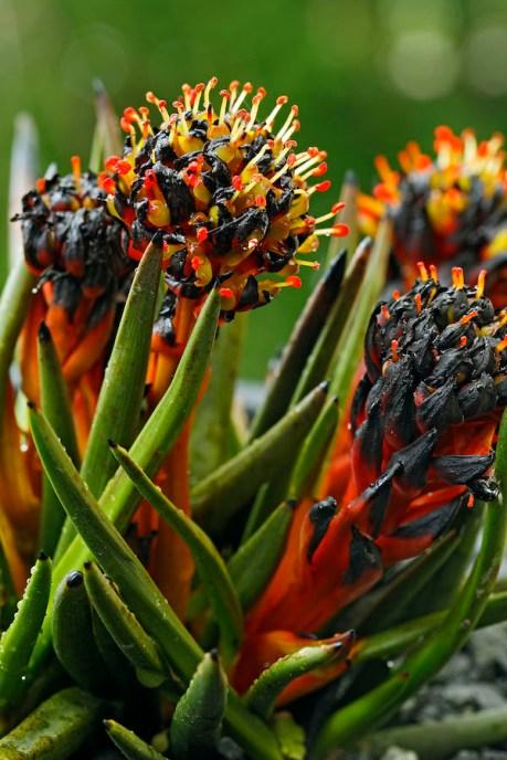 Haemodorum distichophyllum, courtesy Plants Of Tasmania Nursery