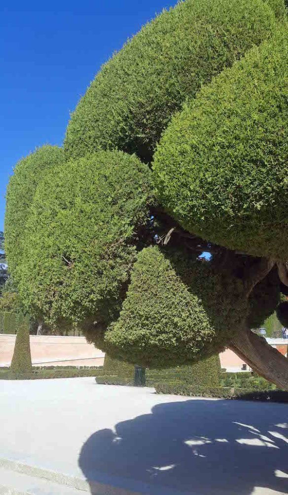 Retiro Cloud pruned cypress close up