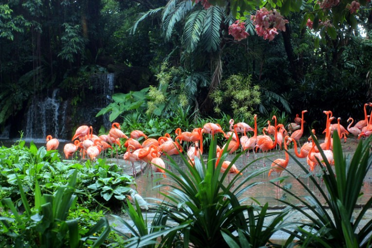 Beautiful flamingos at Singapore Zoo