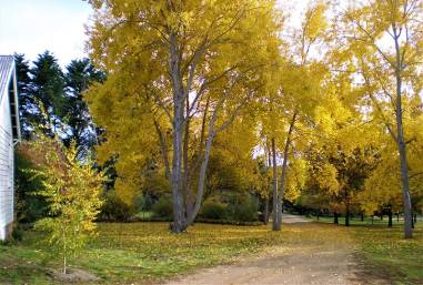 Curry Flat Poplars. Photo Courtesy Private Gardens of the Monaro