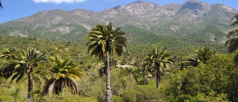 La Campana National Park, Valparaiso Region, Chile, with palm forests of endemic Jubaea chilensis
