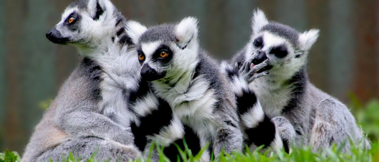 Ringtailed lemurs, (Lemur catta), inhabit southern and southwestern Madagascar, with an additional population on the southeastern plateau of the Andringita Mountains. Photo by By Chris Gin from Auckland, New Zealand