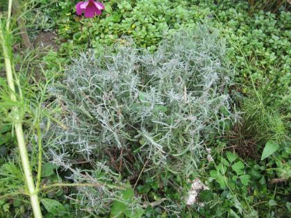 Lavendel_nachher