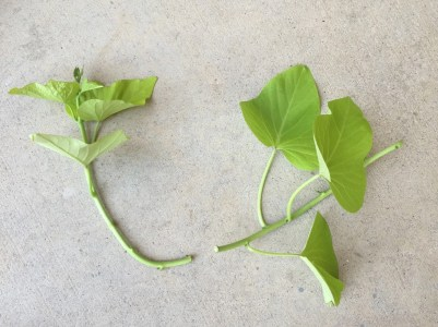 Two vine sections