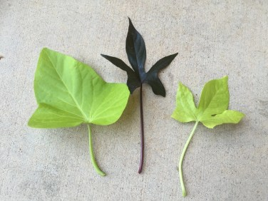 3 types of sweet potato vine